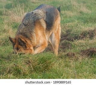 german shepherd bitch digging in overturned earth