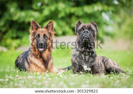 German Shepherd Cane Corso Dog Stock Photo Edit Now 301329821