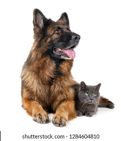 german shepherd and cat in front of white background