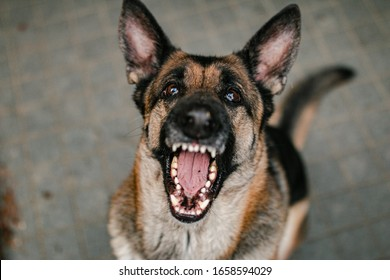 german shepherd catching treat that was dropped from above. The german shepherd has pricked ears, and he is showing teeth. His teeth are big and white and he looks like a scary dog.