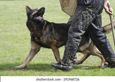 German Shepherd Defending