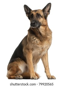 German Shepherd Dog, 10 years old, sitting in front of white background