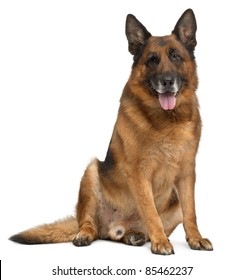 German Shepherd Dog, 11 years old, sitting in front of white background
