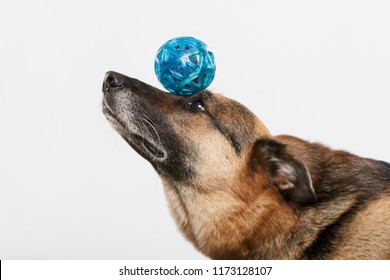 German Shepherd dog balancing with a blue ball against neutral background