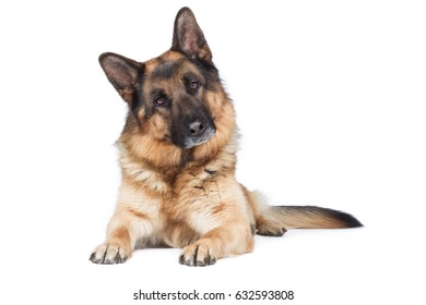 German Shepherd dog Breed dog proudly stands on the ground and looks attentively head-on with head obliquely