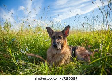 German Shepherd dog breed resting in a field against a blue sky background
