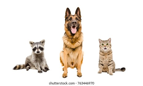 German Shepherd dog, cat  and raccoon, sitting together, isolated on white background