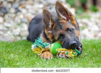 German Shepherd dog chewing on his toy