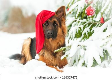 German shepherd dog with christmas hat lying near the christmas tree