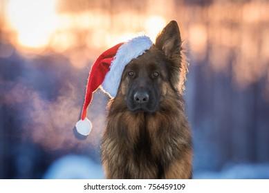 German shepherd dog dressed in a  christmas hat