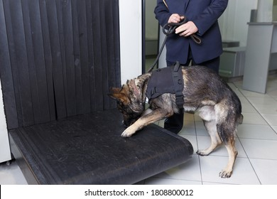 A German shepherd dog for drug detection check in the baggage rolling band with custom officer at the airport.