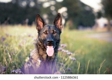 German shepherd dog in a field