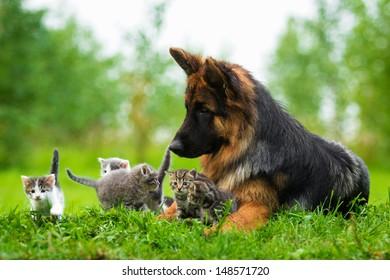 German shepherd dog and five little kittens