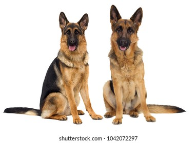 German Shepherd dog in full growth on a white background isolated