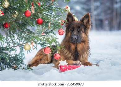 German shepherd dog with a gift lying under the christmas tree