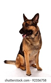 German Shepherd Dog, Guard Dog, sitting in front of white background