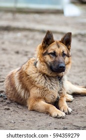 German Shepherd dog guarding the house and protects the host