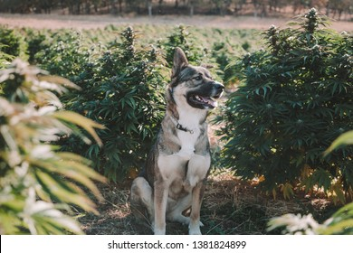 German Shepherd Dog in Hemp Field