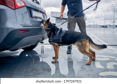 German Shepherd dog inspecting automobile trunk while searching for drugs or other illegal items