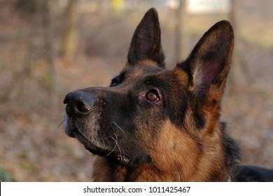 german shepherd dog isolated , head shot