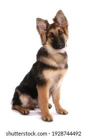German Shepherd Dog isolated on a white background