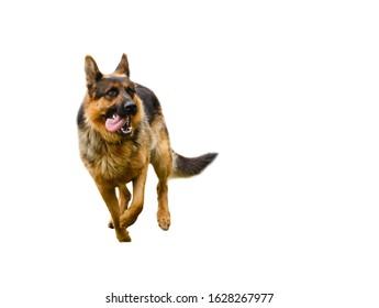 German shepherd dog in jump isolated