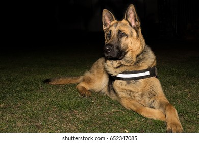 German Shepherd Dog K9