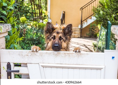 German shepherd dog leaning over the gate