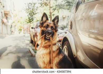 German shepherd dog with leash in her mouth