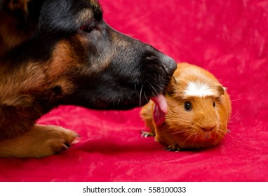 German shepherd dog licking a cute guinea pig (pet friendship or pet love concept), selective focus on the guinea pig's eyes