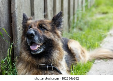 German shepherd dog lies near the wall and looks at the camera. The dog shows teeth and tongue.