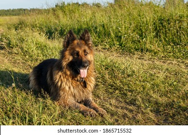 German shepherd dog lies on green grass in sunlight.