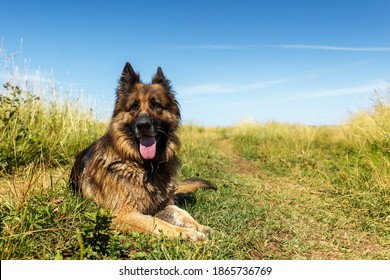 German shepherd dog. The dog lies on green grass. The dog's tongue sticks out.