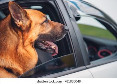 German shepherd dog looking out car window