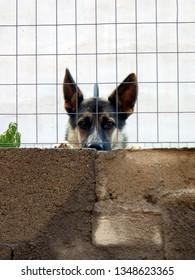 German shepherd dog looking over wall behind fence