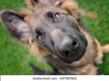 German shepherd dog in a meadow