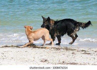 German Shepherd dog and a mixed breed Labrador Retriever Terrier mix dog play on the beach at Pass a Grille near St. Pete Beach, Florida.