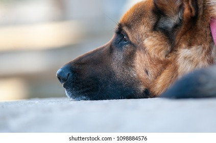 German shepherd dog muzzle closeup