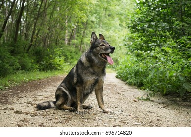 German Shepherd Dog in the nature - forest. Slovakia