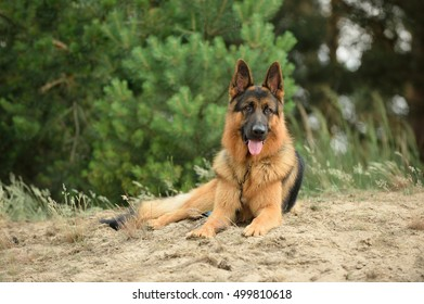 German Shepherd Dog with neck and leash is waiting