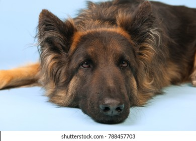 German shepherd dog on blue background