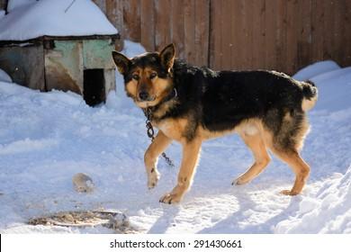 German Shepherd dog on a chain in the yard in winter