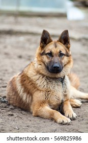 German Shepherd dog on a chain guarding the house and protects the host