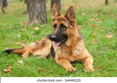 German Shepherd dog on the forest