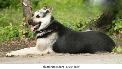 German shepherd dog on a leash