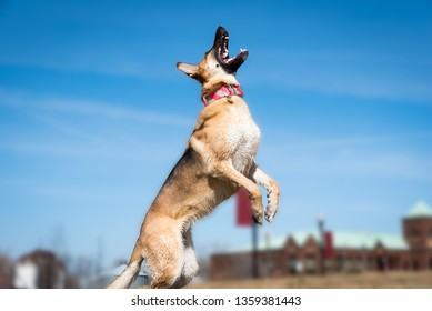 German Shepherd dog out playing against a bright blue sky
