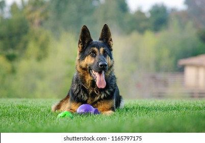 German Shepherd dog outdoor portrait lying down in grass with balls