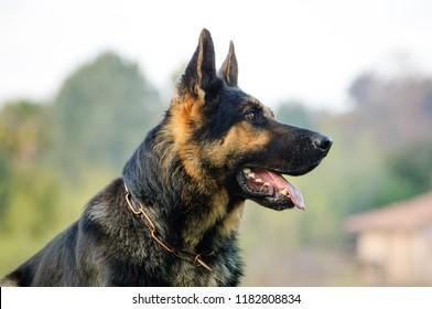 German Shepherd dog outdoor portrait