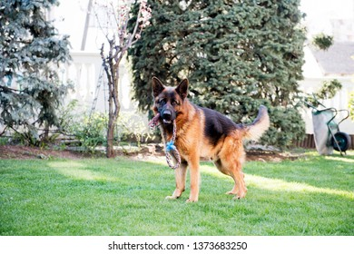 German Shepherd dog outdoor portrait in nature