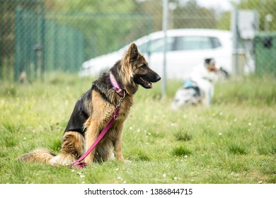 German shepherd dog in a park